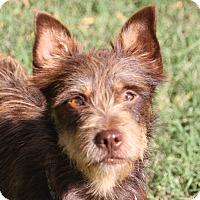 Adopt A Pet :: Scruffy - Edmonton, AB