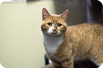 Domestic Shorthair Cat for adoption in Fremont, Nebraska - Simon