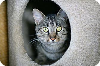 Domestic Shorthair Cat for adoption in Coronado, California - Phoenix