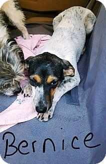 Rat Terrier/Australian Cattle Dog Mix Dog for adoption in Goodlettsville, Tennessee - Bernice