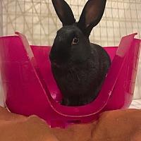 Adopt A Pet :: Marta Von Trapp - Chicago, IL