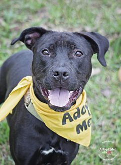 Labrador Retriever Mix Puppy for adoption in Houston, Texas - Bobo