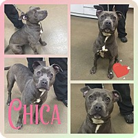 Adopt A Pet :: Chica - Steger, IL