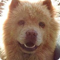 Adopt A Pet :: Chica - Joplin, MO