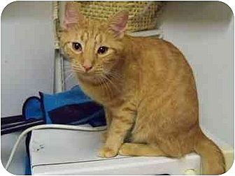 Domestic Shorthair Cat for adoption in MADISON, Ohio - Milo