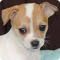 Adopt A Pet :: Dodi - La Habra Heights, CA