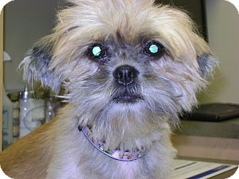 Shih Tzu Dog for adoption in Griffith, Indiana - KELSEY ANN Adoption pending