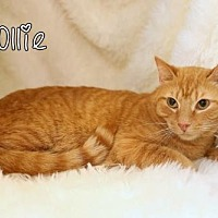 Adopt A Pet :: Ollie Male - knoxville, TN
