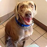 Adopt A Pet :: Bella too - Sun Valley, CA