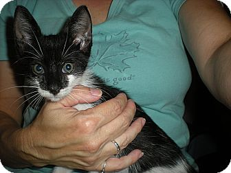 Domestic Shorthair Kitten for adoption in Tampa, Florida - Zachary