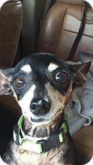 Chihuahua Mix Dog for adoption in Loxahatchee, Florida - Peanut