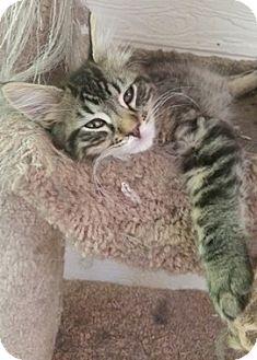 Domestic Mediumhair Kitten for adoption in North Highlands, California - Abraham