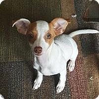 Adopt A Pet :: Pria - Windermere, FL