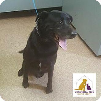 Labrador Retriever Mix Dog for adoption in Eighty Four, Pennsylvania - Shadow