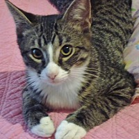 Domestic Shorthair Cat for adoption in League City, Texas - Mao