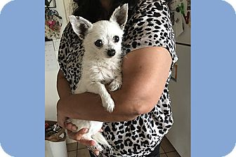 Jack Russell Terrier/Chihuahua Mix Dog for adoption in San Juan Capistrano, California - Cupid