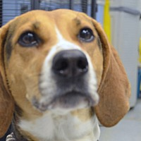 Adopt A Pet :: Violet - Martinsville, IN