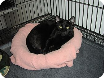 Domestic Shorthair Cat for adoption in Speonk, New York - Dario