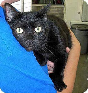 Domestic Shorthair Cat for adoption in Brooklyn, New York - Bartholemew