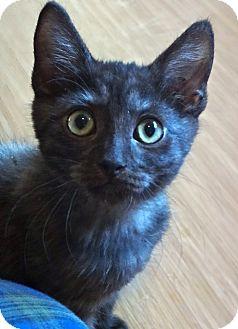 Burmese Kitten for adoption in Escondido, California - Sinbad