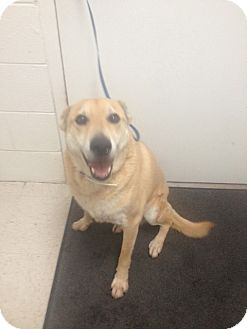 Labrador Retriever/German Shepherd Dog Mix Dog for adoption in Lancaster, Virginia - Cody