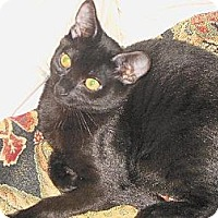 Domestic Shorthair Cat for adoption in Auburn, California - Casey