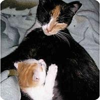 Adopt A Pet :: Kitten and Lap Cat Mom - New York, NY