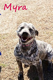 American Pit Bull Terrier/Blue Heeler Mix Dog for adoption in Davis, Oklahoma - Myra Oks31