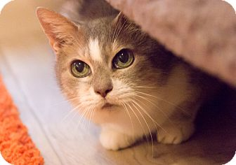Domestic Shorthair Cat for adoption in Chicago, Illinois - Granny Apple