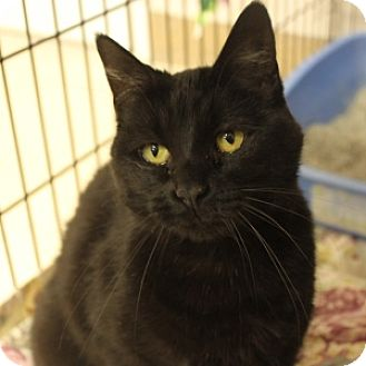 Domestic Shorthair Cat for adoption in Naperville, Illinois - Binx