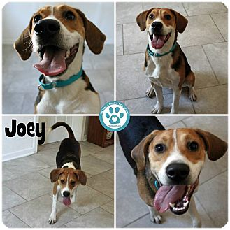 Coonhound/Harrier Mix Puppy for adoption in Kimberton, Pennsylvania - Joey