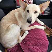 Labrador Retriever/Terrier (Unknown Type, Small) Mix Dog for adoption in Mexia, Texas - Sandy2
