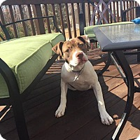 Adopt A Pet :: Hazel - Waxhaw, NC
