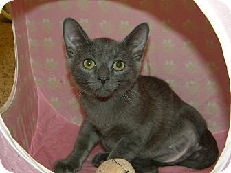 Russian Blue Cat for adoption in Stafford, Virginia - Pogo