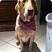 Adopt A Pet :: Chanel - Pembroke pInes, FL