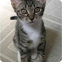 Adopt A Pet :: Babie kitten - Cincinnati, OH