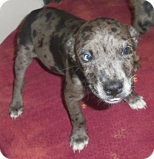 Australian Shepherd Mix Puppy for adoption in Cleveland, Georgia - pup4