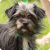 Adopt A Pet :: Teenie - Staunton, VA
