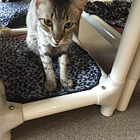 Domestic Shorthair Cat for adoption in Boca Raton, Florida - Girlie