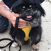 Adopt A Pet :: Caesar - Portland, ME