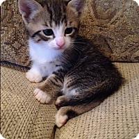 Adopt A Pet :: TEDDY GRAHAMS aka ROCKY - Hamilton, NJ