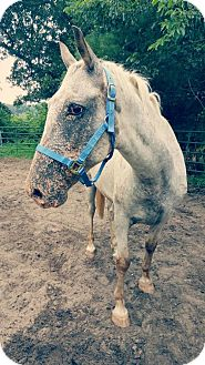 Appaloosa/Missouri Foxtrotter Mix for adoption in Champaign, Illinois - Gunner- URGENT!
