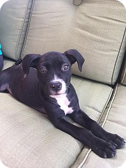 Labrador Retriever/Pit Bull Terrier Mix Puppy for adoption in Houston, Texas - Molly