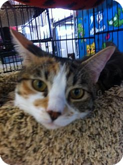 Domestic Shorthair Kitten for adoption in Sacramento, California - Sabrina N
