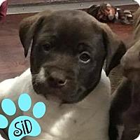 Adopt A Pet :: Sid - Des Moines, IA