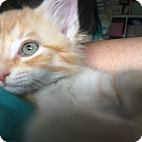 Adopt A Pet :: Razzle Kitten - Allentown, PA