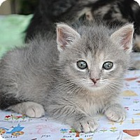 Adopt A Pet :: Delilah (aka Tortie Girl) - Palmdale, CA