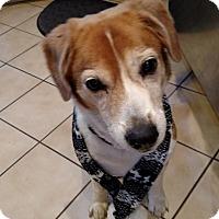 Adopt A Pet :: cinnamon - Yardley, PA