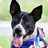 Cattle Dog/Bernese Mountain Dog Mix Dog for adoption in San Francisco, California - Landi