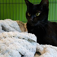 Domestic Shorthair Cat for adoption in Barnwell, South Carolina - Lizzy